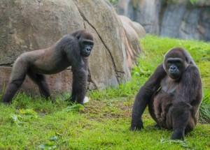 Busch Gardens Tampa celebra uma nova gravidez