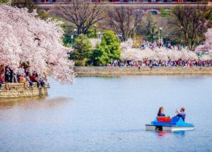 Festival das Cerejeiras abre temporada de eventos temáticos na Região da Capital dos EUA