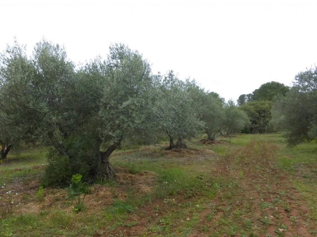 O olival da fazenda