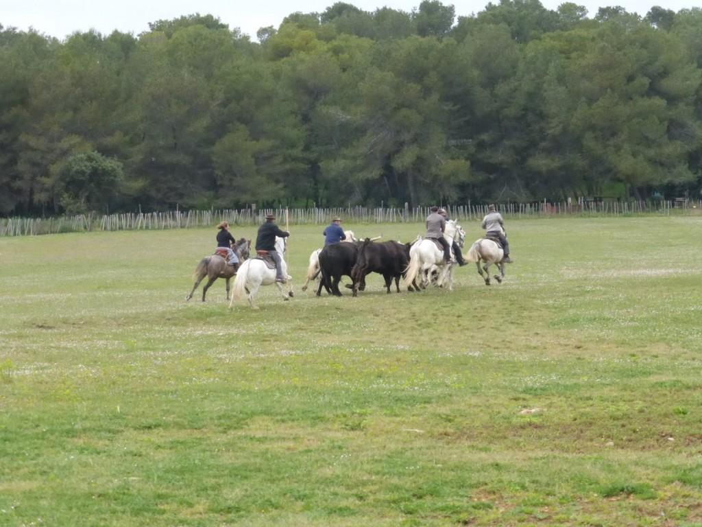 Os bois apartados são conduzidos pelos vaqueiros e pelas vaqueiras